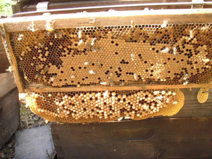 Forcing drone brood by using shallow frames in deep boxes, from www.countryrubes.com